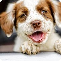 Adopt A Pet :: Cappy TM - Schertz, TX