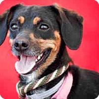 Adopt A Pet :: Melody - Encino, CA