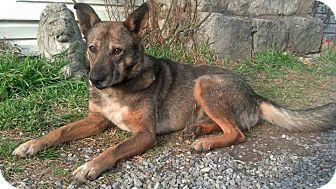 German Shepherd Dog Mix Dog for adoption in Homewood, Alabama - Dingo