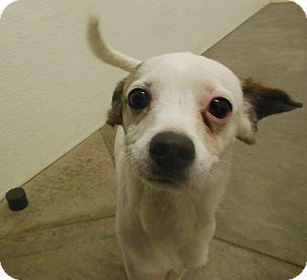 Whippet Mix Dog for adoption in Phoenix, Arizona - Kiefer