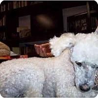 Adopt A Pet :: Amelia - Albuquerque, NM