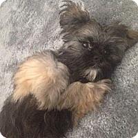 Adopt A Pet :: Chewie - Oceanside, CA