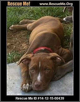 American Staffordshire Terrier Puppy for adoption in west hollywood, California - Sutton