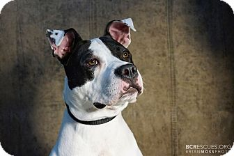 American Pit Bull Terrier Mix Dog for adoption in Cliffside Park, New Jersey - EMMA
