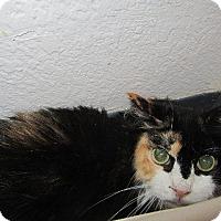 Domestic Longhair Cat for adoption in Grand Junction, Colorado - Venus (kisses)