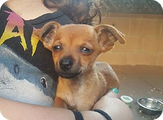 Chihuahua/Dachshund Mix Puppy for adoption in Woodland Hills, California - Foxy