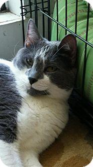 Domestic Shorthair Cat for adoption in Centerton, Arkansas - Buddha