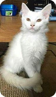 Domestic Longhair Kitten for adoption in Columbus, Ohio - Cloud