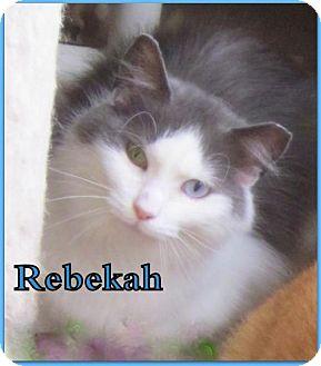 Domestic Mediumhair Cat for adoption in Culpeper, Virginia - Rebekah