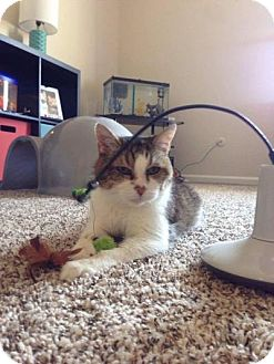 Domestic Shorthair Cat for adoption in Indianapolis, Indiana - Ashka