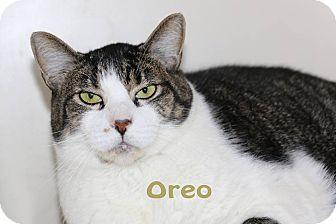 Domestic Shorthair Cat for adoption in Idaho Falls, Idaho - Oreo