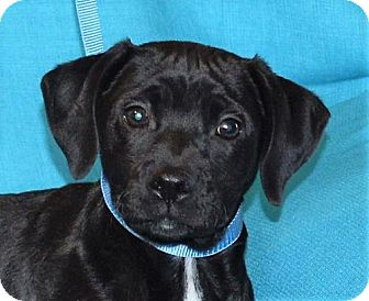 Boxer/Shepherd (Unknown Type) Mix Puppy for adoption in Mukwonago, Wisconsin - **LUCIFER** MEET APRIL 1ST!