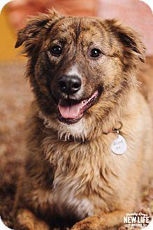 Australian Shepherd Mix Dog for adoption in Portland, Oregon - Cosmo