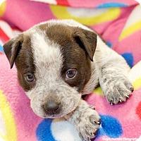 Australian Cattle Dog/Labrador Retriever Mix Puppy for adoption in Huntsville, Alabama - Zurie