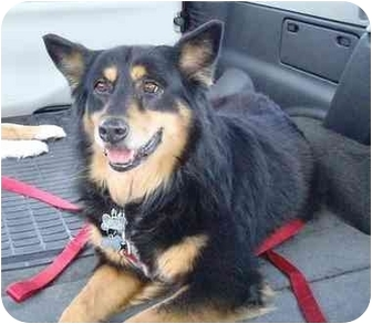 Australian Shepherd Mix Dog for adoption in Orlando, Florida - Liberty
