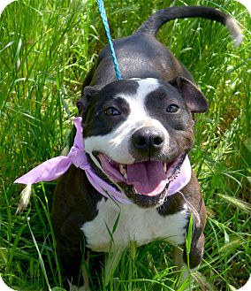 American Staffordshire Terrier/Bull Terrier Mix Dog for adoption in Sacramento, California - All I want is LOVE take me hom