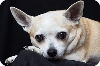 Chihuahua Mix Dog for adoption in Mesa, Arizona - Dusty
