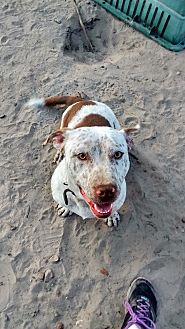 Basset Hound/American Pit Bull Terrier Mix Dog for adoption in Somerville, Texas - Big G