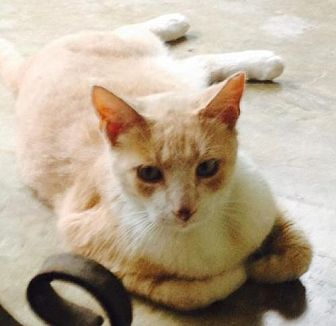Domestic Shorthair Cat for adoption in San Antonio, Texas - Simba