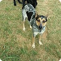 Australian Cattle Dog/Terrier (Unknown Type, Small) Mix Dog for adoption in Heavener, Oklahoma - toka