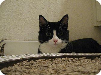 Domestic Mediumhair Kitten for adoption in Brea, California - GEISHA