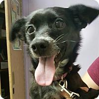 Chihuahua Mix Puppy for adoption in Savannah, Georgia - Vixen