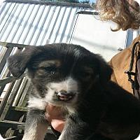Border Collie/Labrador Retriever Mix Puppy for adoption in Girard, Georgia - Barry