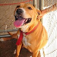 American Staffordshire Terrier Dog for adoption in Crandall, Georgia - Stephanie