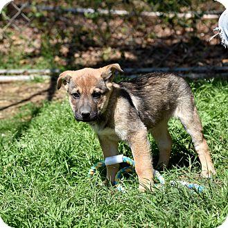 German Shepherd Dog/Shar Pei Mix Puppy for adoption in Groton, Massachusetts - Fawn
