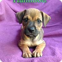 Adopt A Pet :: Hamilton - Pensacola, FL