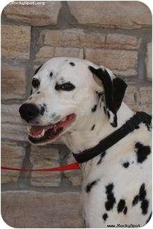Dalmatian Dog for adoption in Newcastle, Oklahoma - Dottie