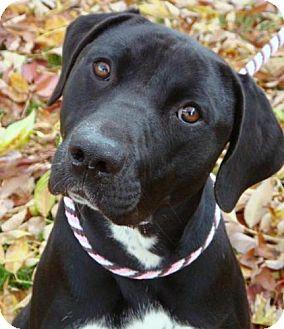 Labrador Retriever Mix Dog for adoption in Red Bluff, California - Baily