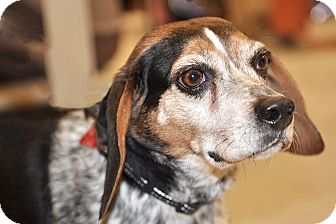 Beagle Dog for adoption in Howell, Michigan - Stella