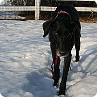 Adopt A Pet :: Layla - Phoenixville, PA