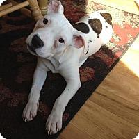 Adopt A Pet :: Checkers - Toledo, OH