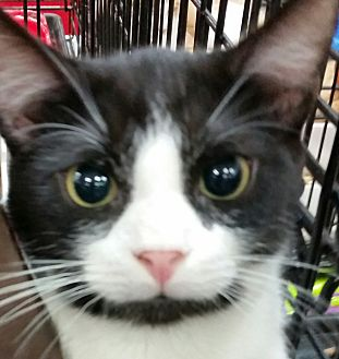 Siamese Kitten for adoption in Harrisburg, North Carolina - Cookies & Cream