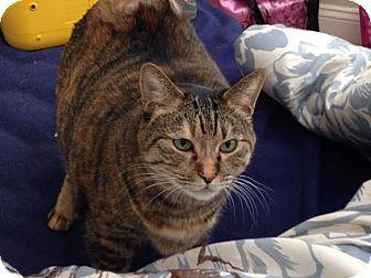 Domestic Shorthair Cat for adoption in Acushnet, Massachusetts - Mame