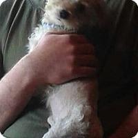 Poodle (Miniature) Mix Dog for adoption in Detroit, Michigan - Noodles