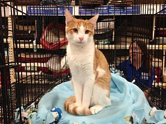 Domestic Shorthair Kitten for adoption in Jenkintown, Pennsylvania - Eli Joe