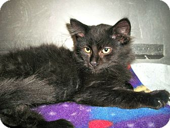 Domestic Mediumhair Kitten for adoption in Flint, Michigan - Mac