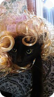 Domestic Shorthair Cat for adoption in Witter, Arkansas - Spooky
