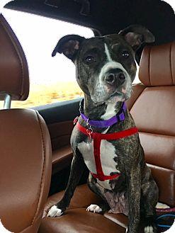 Labrador Retriever/Staffordshire Bull Terrier Mix Dog for adoption in Heber City, Utah - Tootsie