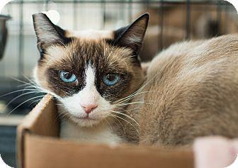Snowshoe Cat for adoption in Los Angeles, California - Suki