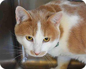 Domestic Mediumhair Cat for adoption in Sierra Vista, Arizona - Puffy