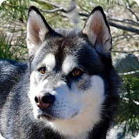 Adopt A Pet :: Camo - Portola, CA