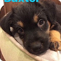 Adopt A Pet :: Baxter - Mount Laurel, NJ