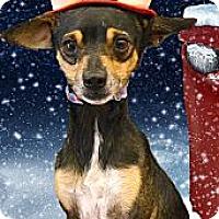 Adopt A Pet :: Little Joshie companion - Sacramento, CA