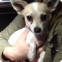 Adopt A Pet :: Puddles - Los Angeles, CA
