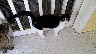 Domestic Shorthair Cat for adoption in Port Clinton, Ohio - Rachel