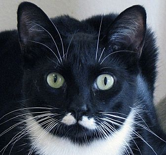 Domestic Shorthair Cat for adoption in Norwalk, Connecticut - Daphne